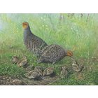 Image of Summer Meadow - Grey Partridge Family