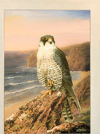 Image of Celtic Sunset ~ Peregrine Falcon, Stem Point, Watergate Bay, NR. Newquay