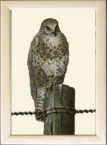 Image of Buzzard at Rest, Tregaswith, St. Columb Major