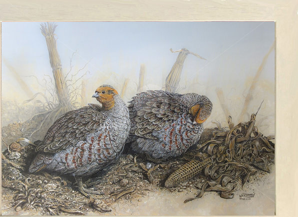 Image of Preening Session - Grey Partridge in a Cornish Maize Field