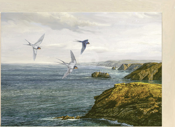 Image of Flying In ~ Swallows, Tintagel, looking towards Bude, North Cornish Coast