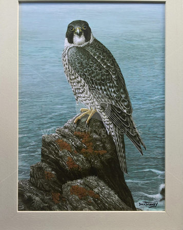Image of North Coast Peregrine - Berryl's Point, nr. Mawgan Porth. Newquay, Cornwall