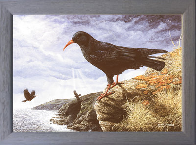 Image of Choughs at Home - Church Cove, The Lizard, Cornwall