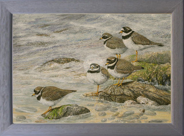 Image of Rocky Shore, Turnstones - Mawgan Porth, nr. Newquay, Cornwall