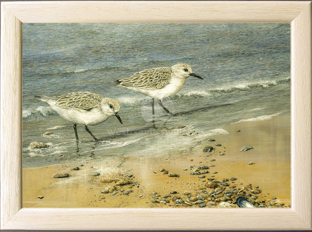 Image of At the Tideline, Sanderlings - Mawgan Porth, nr. Newquay, Cornwall