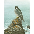 Image of North Coast Peregrine
