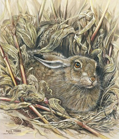Image of Brown Hare in a Maize Field